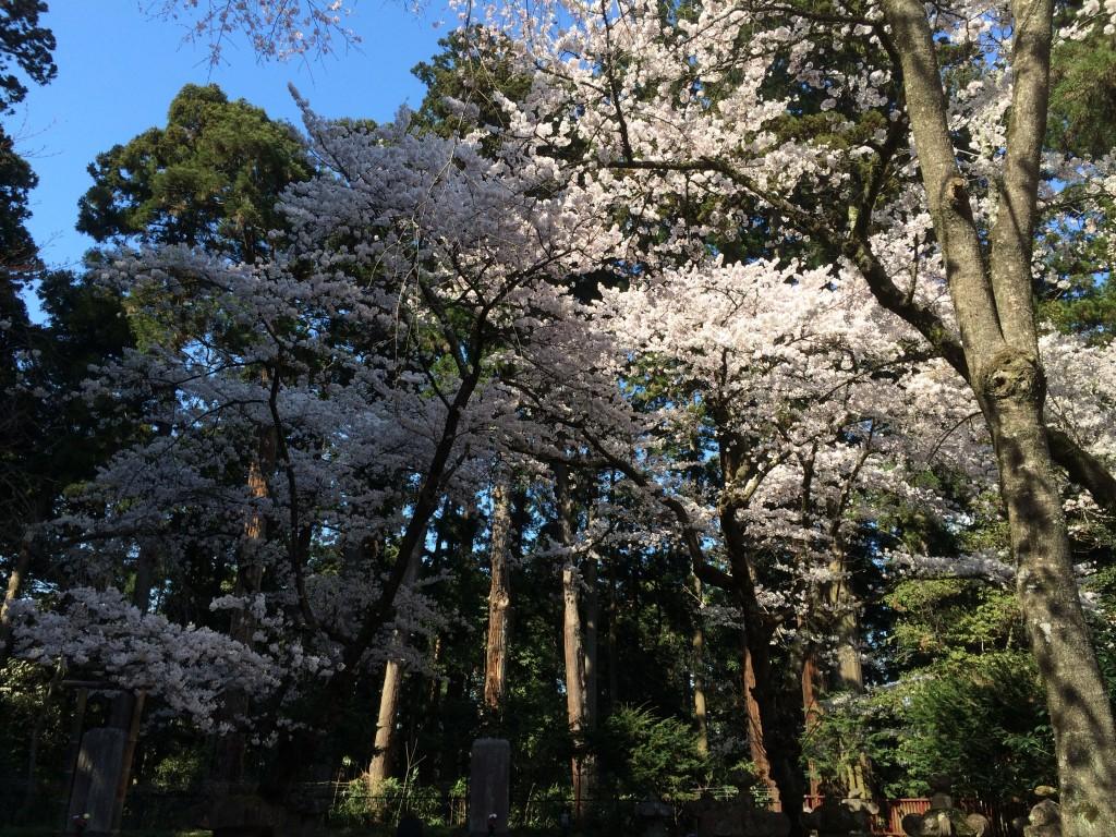 桜4.11-2